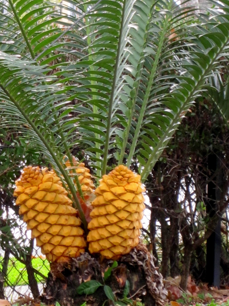 """Looks like a Pineapple Palm?    """"Cycad"""" by 777margo"""
