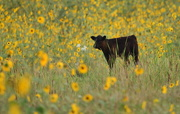 4th Sep 2017 - Calf in Field of Sunflowers