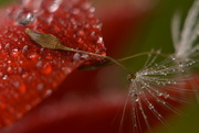 4th Sep 2017 - Raindrops, petals and seeds.....