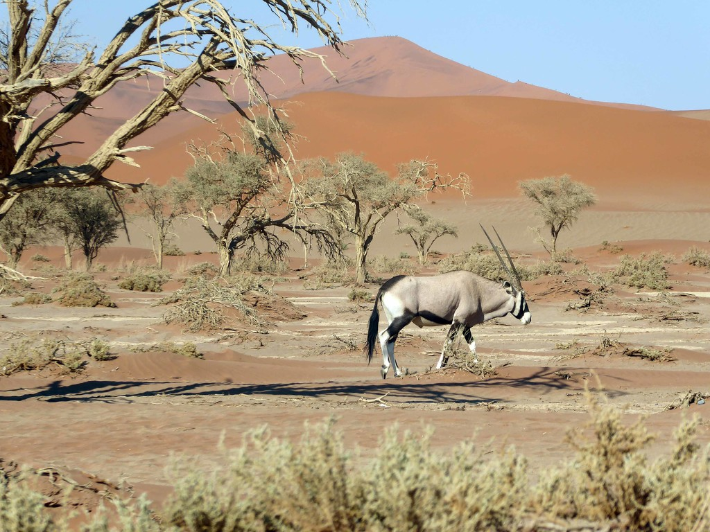 Lone Antelope by cmp