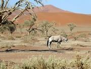 4th Sep 2017 - Lone Antelope