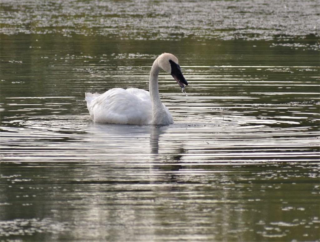 Single Swan by caitnessa