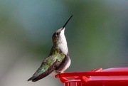 4th Sep 2017 - Yet another hummingbird picture