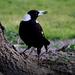 Magpie  by dkbarnett
