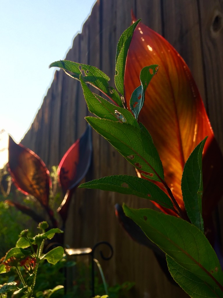 The interloper Canna Lily leaves by louannwarren