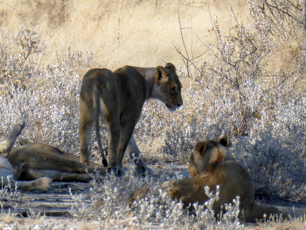 Family of lions by cmp