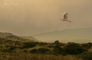 5th Sep 2017 - White Egret Flying in the Smoky Evening Light