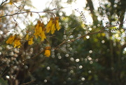 5th Sep 2017 - kowhai in flower..