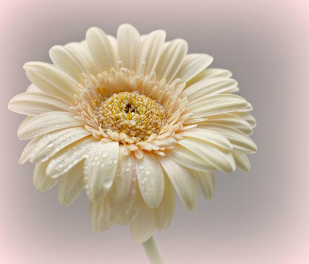 Daisy Daisy. by wendyfrost