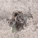 Lion by peadar