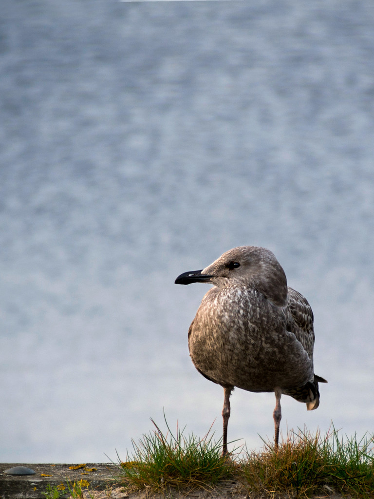 Young Seagull by atchoo