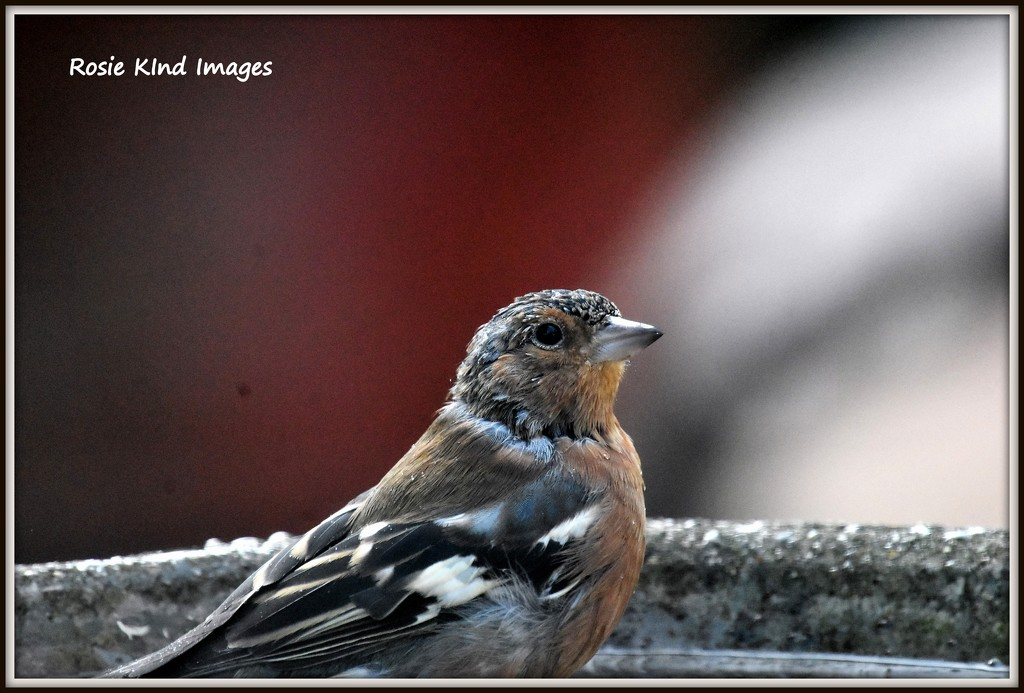 Chaffinch in the bath by rosiekind