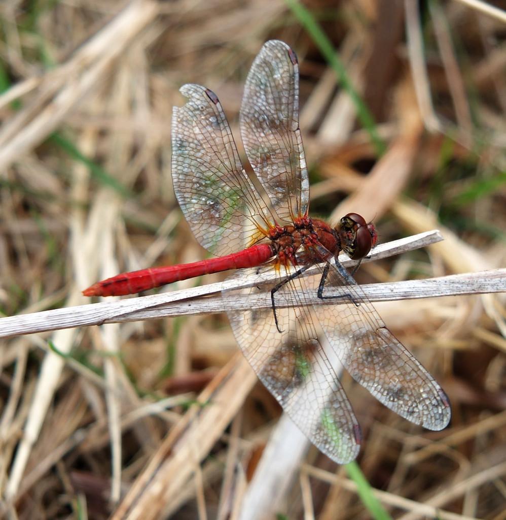 Dragonfly by bigmxx