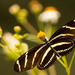 Zebra-Heliconian Butterfly! by rickster549