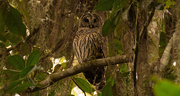 6th Sep 2017 - Found the Barred Owl!