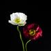 Poppies by salza