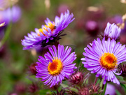 7th Sep 2017 - New England Asters Closeup