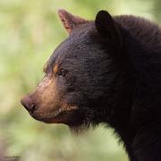 8th Sep 2017 - Black Bear Juvenile Portrait