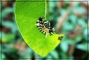 7th Sep 2017 - Milkweed Tiger Moth