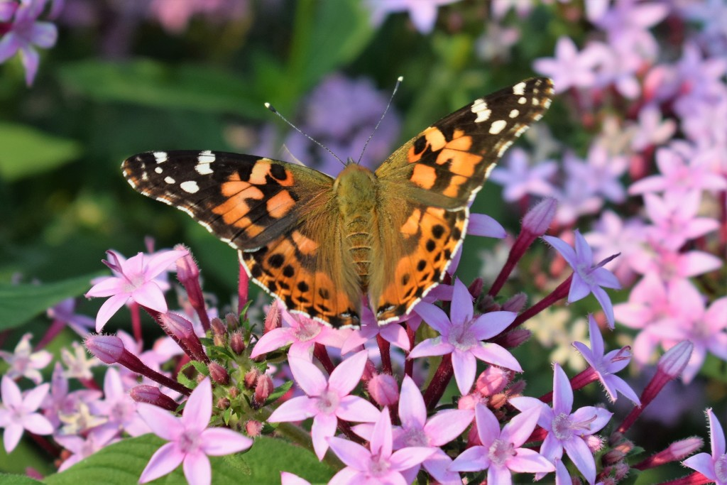 Painted Lady, I think by sandlily