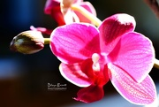 8th Sep 2017 - Phalaenopsis orchid