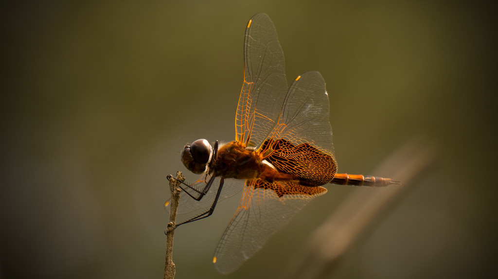 Dragonfly at Rest! by rickster549