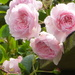 Roses... by snowy
