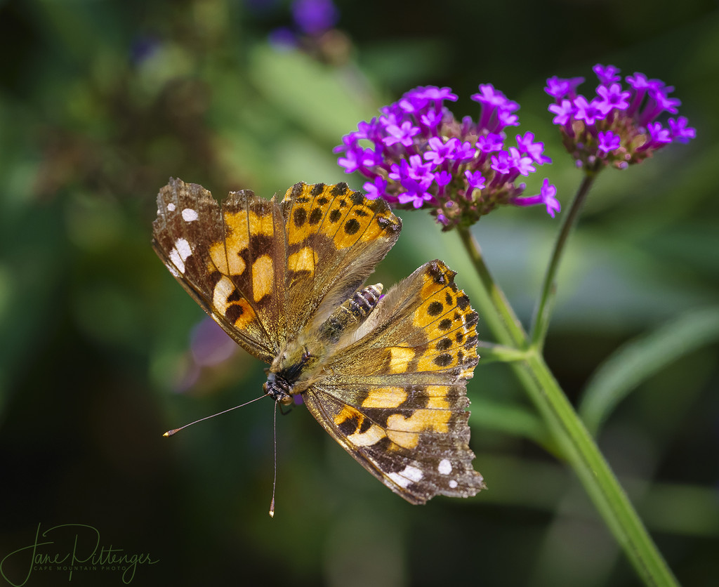 Painted Lady and Bokeh by jgpittenger