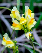 9th Sep 2017 - Yellow Toadflax