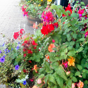 6th Sep 2017 - A colourful array of flowers...