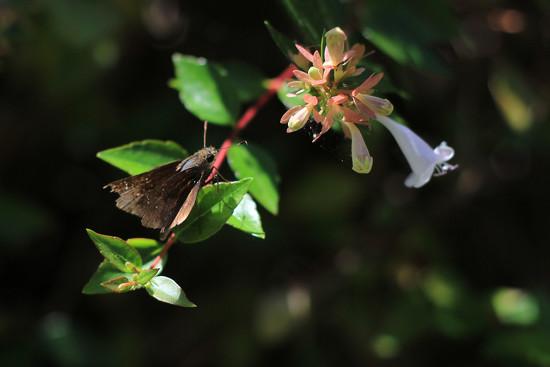 9-5 50mm skipper on flowers by milaniet