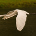 Egret in Flight! by rickster549