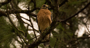 9th Sep 2017 - Red Shouldered Hawk Keeping an Eye on Me!