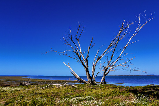 dead tree  by corymbia