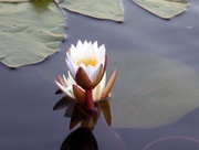 10th Sep 2017 - Waterlilly
