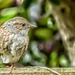 Dunnock Yoga by pamknowler