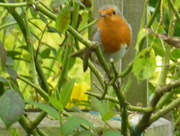 7th Sep 2017 - Little robin red breast...