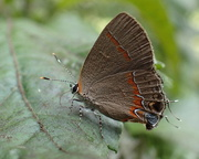 10th Sep 2017 - Gray Hairstreak Butterfly