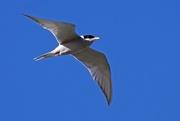 11th Sep 2017 - Black fronted tern in flight