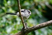 11th Sep 2017 - LONG TAILED TIT