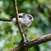 LONG TAILED TIT by markp