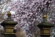 12th Sep 2017 - Blossom through the gate posts