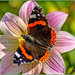 Red Admiral Butterfly by carolmw
