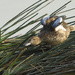 blue-winged teal stretching