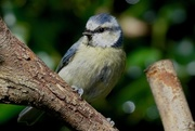 12th Sep 2017 - BLUE TIT