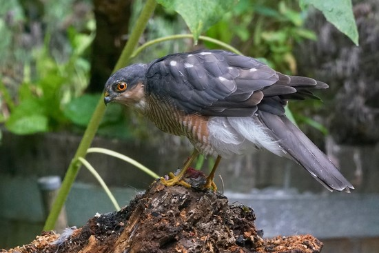 SPARROWHAWK SERENDIPITY  by markp