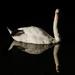 Swan !