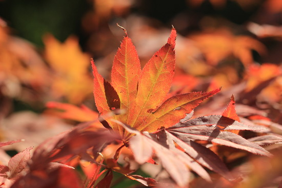 Flaming acer - SOOC by psychographer