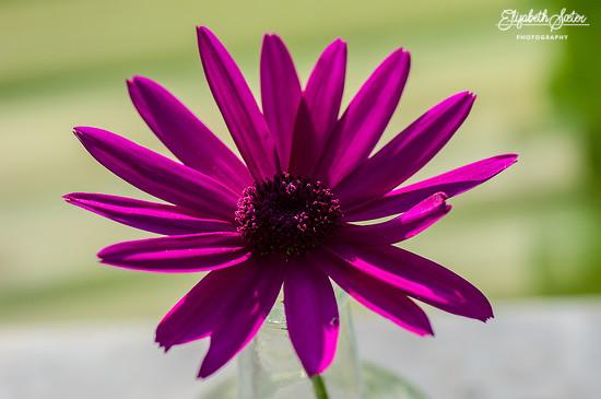 Pink Chrysanthemum by elisasaeter