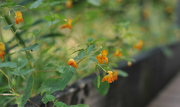 12th Sep 2017 - Jewelweed